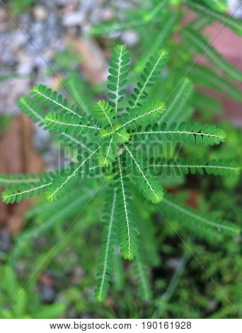 Close up Phyllanthus niruri herb plant and other name Seed-under-leaf Phyllanthus amarus Schumach & Thonn Egg Woman Tamalaki Hazardana Stonebreaker Thail herb with medicinal properties