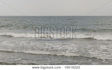Mew gull at beach poster