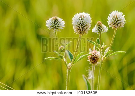Trifolium Repens Or White Clover