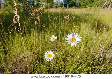 Chamomile Flowers In The Meadow