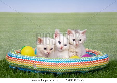 Three fluffy white kittens with puff of brown fur on top of head sitting in a small blow up swimming pool with colorful plastic balls on grass with background grass. Fun summer theme