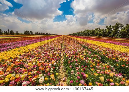 Field of beautiful flowers. Garden buttercups bloom in bright colors. Walk on a sunny day. The concept of eco-tourism