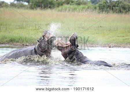 Wild Hippo In African River Water Hippopotamus (hippopotamus Amphibius