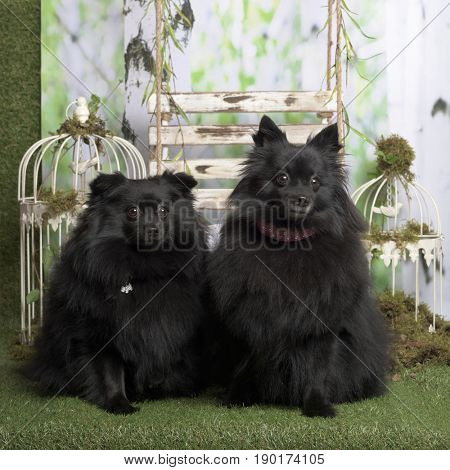 Black germans spitz sitting, in pastoral decoration