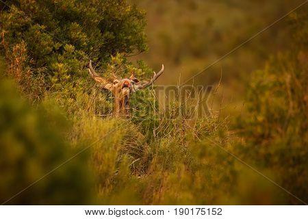 Big and beautiful red deer during the deer rut in the nature habitat in spanish andalusia, european animals, deer rut, wild iberia, beautiful andalusia, nature in spain