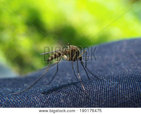 Closeup of Mosquito trying to bite through a jeans clothes
