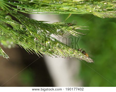 macro of grass spikes with water drop after rain or morning dew.