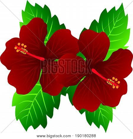 Malaysia National Flower Red Hibiscus flowers with leaves color vector  illustration