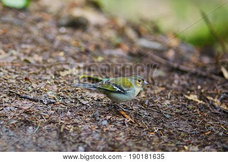 Closeup Of Colorful Madeiran Chaffinch, Bird Endemic To Madeira