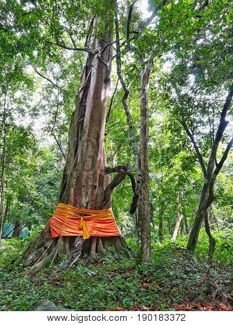 Tree ordination in Thailand. Big tree in the tropical rainforest