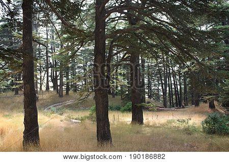 Walking the trails inside the cedar forest in Lebanon.