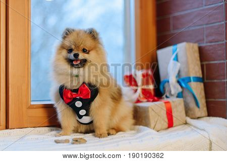 The horizontal portrait of the little German Spitz in modern suit sittiong near the presents wrapped in the colourful paper