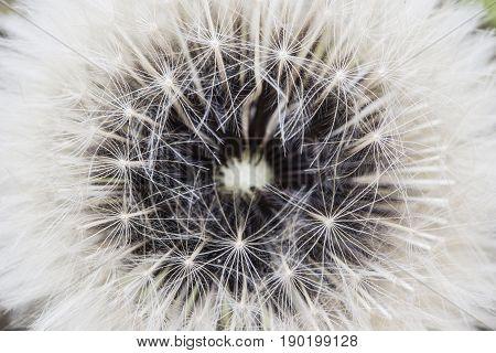 Detail of inside a dandelion seed pod