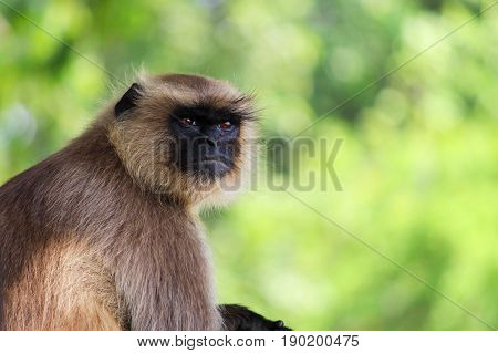 innocent gray langur in the green forest