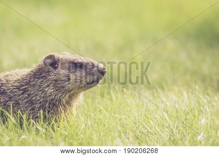 Young groundhog side profile (Marmota Monax) with room for text