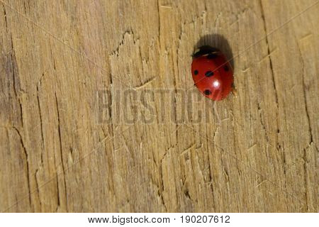 Red ladybug with black spots on brown wooden wall background