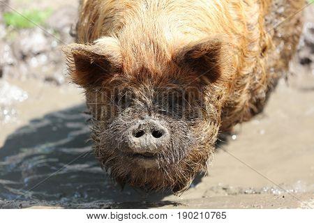 Kunekune Pig (Sus scrofa domesticus) in Mud Hole