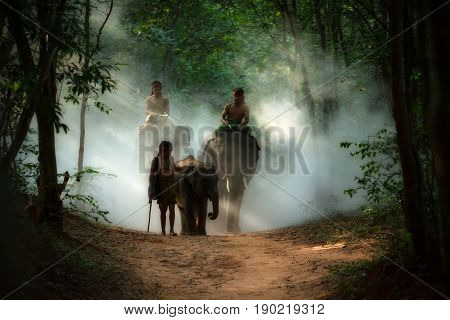 THAI Family elephant and mahout man walking to the river in wild this is a lifestyle of Thai people in surin province Thailand.