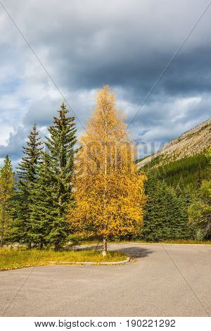 The warm Indian summer in Canada. The magnificent Rocky Mountains. Yellowed slender aspen beside the road adjacent to the green spruce