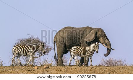 Plains zebra and african bush elephant in Kruger national park, South Africa ; Specie Loxodonta africana and Equus quagga burchellii