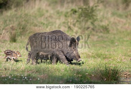 Wild Boar With Piglets In Forest