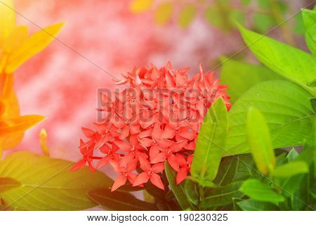 Ixora red flower spike in nature with sunset light (Common Name Ixora chinensis Rubiaceae)