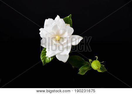 gardenia with bud on black background