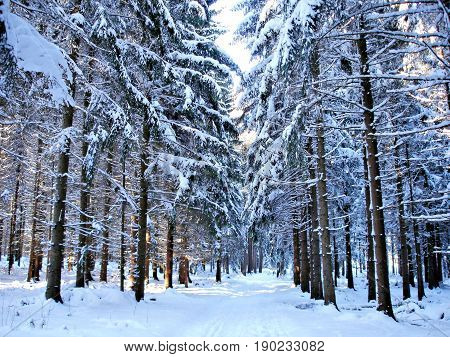 Forest path through a snowy forest in winter
