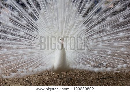 Picture of a white peacock while doing the wheel