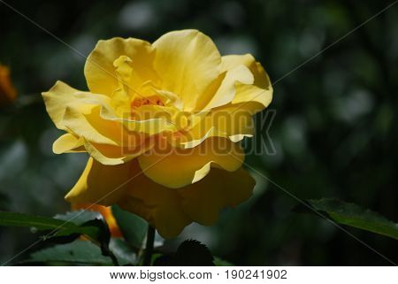 Very pretty blooming yellow rose blossom in a rose garden.