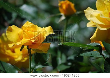 Blooming yellow rose bush in a rose garden.