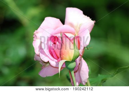 Rose bud and a blooming pink rose.