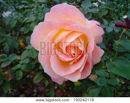 Pretty rose garden with a pretty pale pink rose blossom.