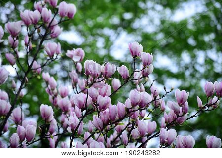 Blossoming Of Magnolia Flowers In Spring Time On Natural Background