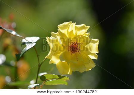 Beautiful rose bush with a flowering yellow rose blossom.