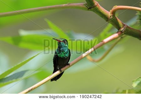 Hummingbird Canivet's Emerald, chlorostilbon canivetii, sitting on a branch, Nicaragua, well seen in Costa Rica too poster