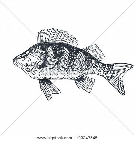 Fish perch carp, isolated black and white, side view, hand drawn