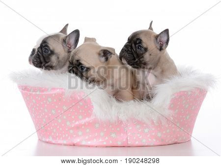 litter of french bulldog puppies in a pink dog bed