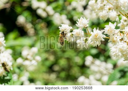 View on a little Honey Bee at Work. Honey Bees (Hymenoptera). Honey Bees pollinate the blooming Blowers. Close-up of a Honey Bee in Spring.
