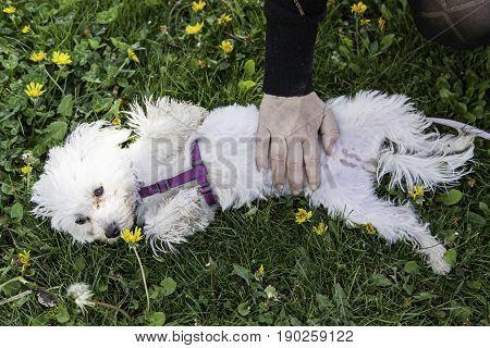 Bichon Maltese Dog