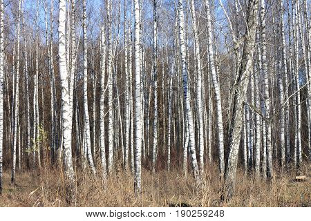 Birch grove with black-white birch trees and dried birch trunks