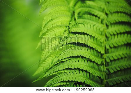 Beautiful fern leaves green foliage natural floral fern background in sunlight.