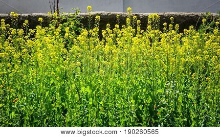 Barbarea Vulgaris Flowers Blooming At Spring