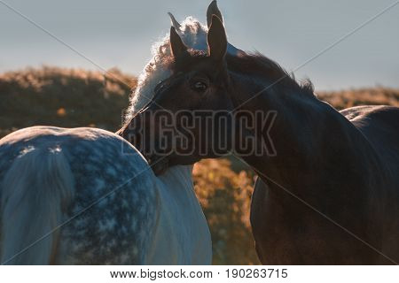 Dapple-grey and bay horses in evening together