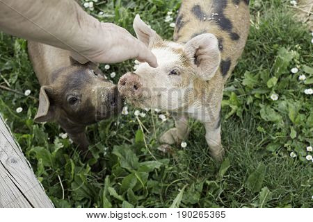 Small pig farm animals and nature exterior