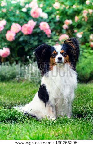 Dog of the breed Papillon on the lawn in the garden