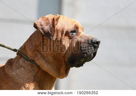 Beautiful side view head shot of japanese tosa inu show dog