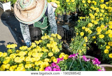 Close up of Asian middle aged woman gardening and planting colorful flowering plants in summer garden or market.