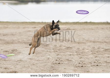 Dog Belgian Shepherd Malinois jumping for disk in sand