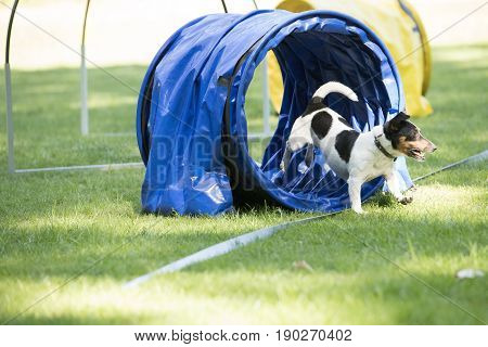 Dog Jack Russel Terrier running through agility tunnel hooper training